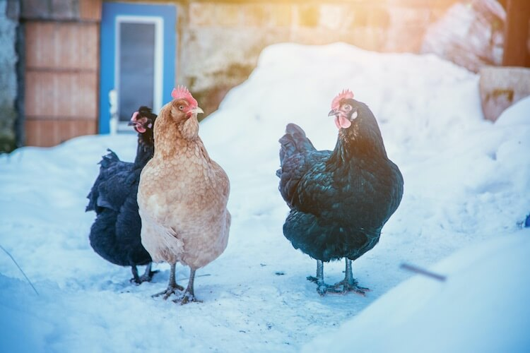 Flock Of Chickens In Snow