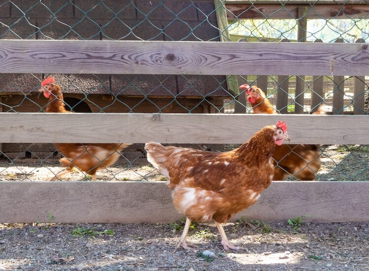Introducing New Chickens