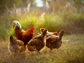 The Complete Guide To Introducing New Chickens To Your Flock Cover
