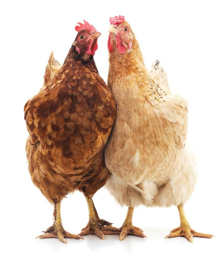 Two Chickens Together