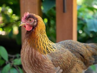 Welsummer Chicken Care Guide, Color Varieties and More Cover