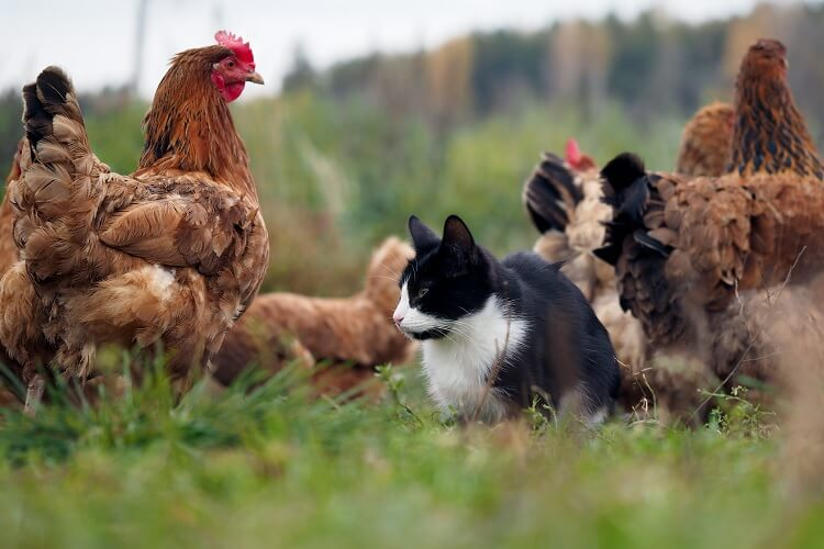 Cat with Chickens