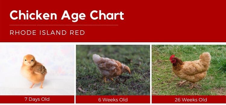 Chicken Age Chart