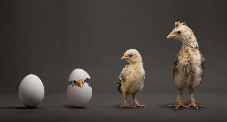 Chicken Development