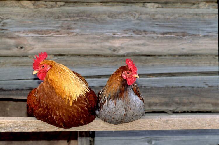 Chicken Perch