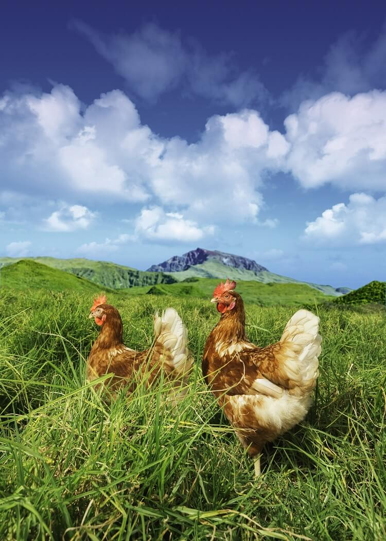 Chickens Hunting Insects