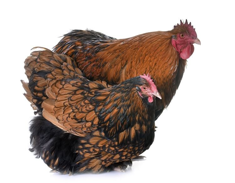 Golden Laced Orpingtons