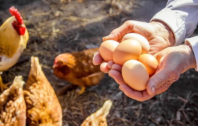 Holding Chicken Eggs