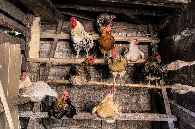 Mature Hens