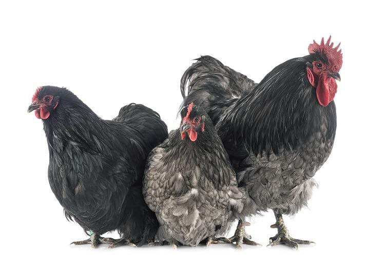 Orpington Chickens