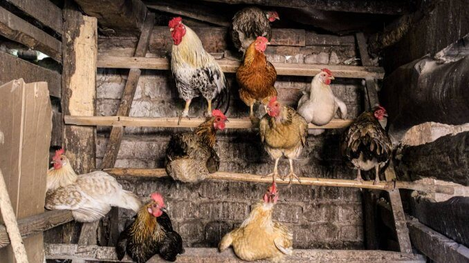 12 Reasons You Should Not Get Backyard Chickens Cover