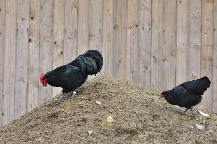 2 Black Australorps