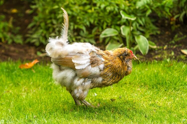 A Chicken Molting