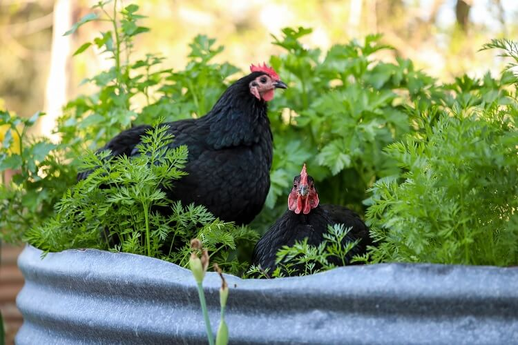 Black Australorp In Plant Pots