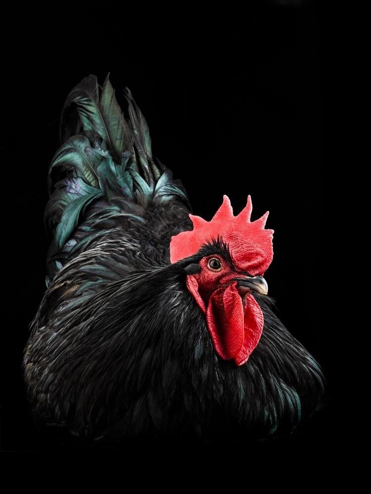 Black Australorp Portrait