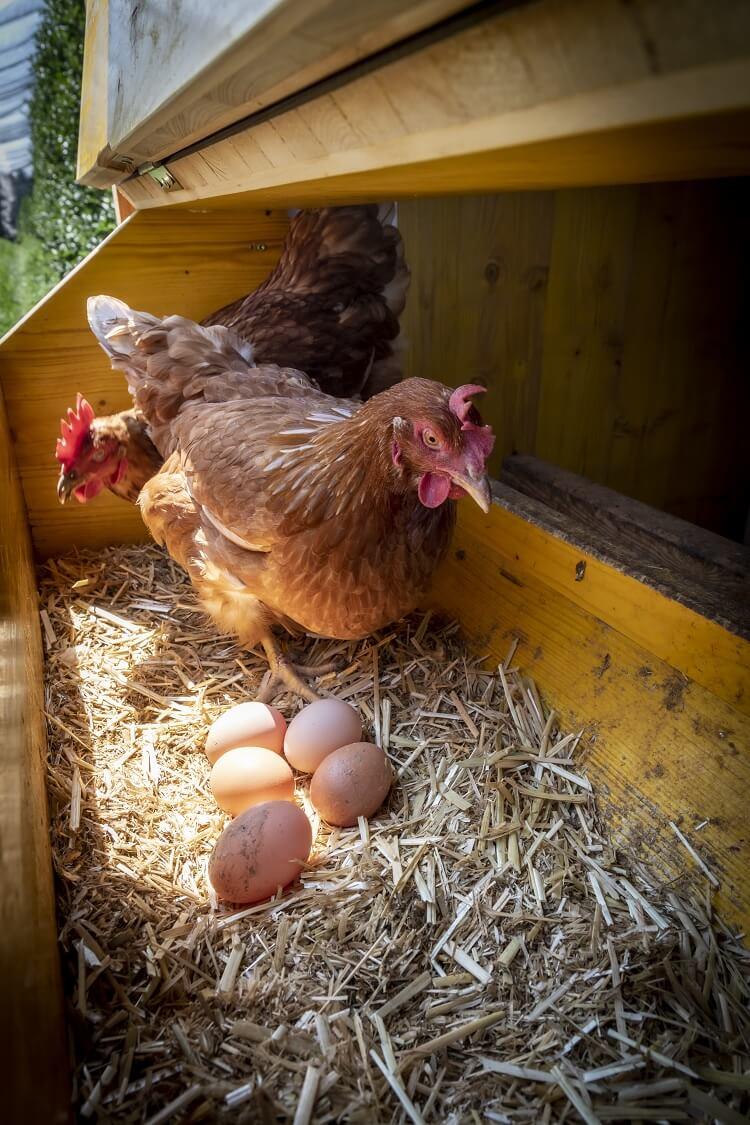 Chicken Making Eggs