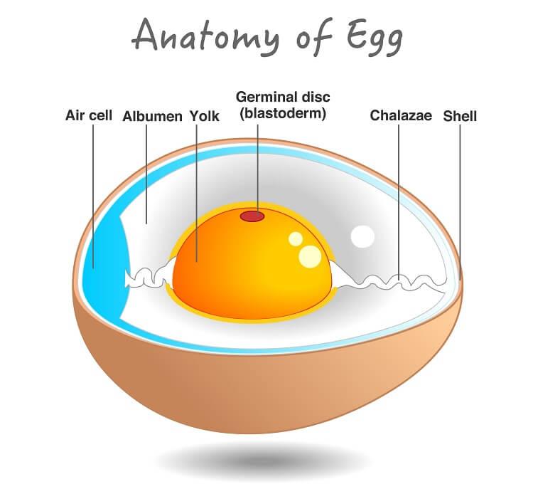 How Do Chickens Make Eggs?