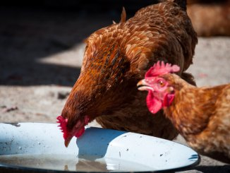 The Complete Guide To Chickens And Water Cover