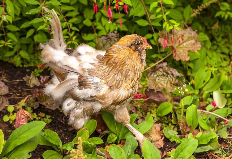 Yellow Chicken Molting