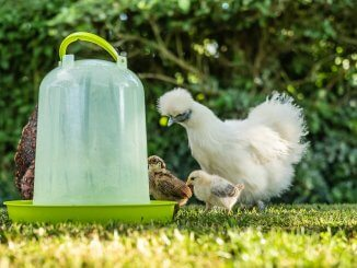 Automatic Chicken Waterers What To Know Before Buying Cover