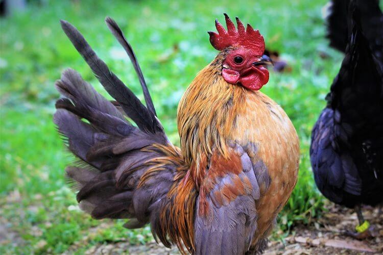 Serama Rooster