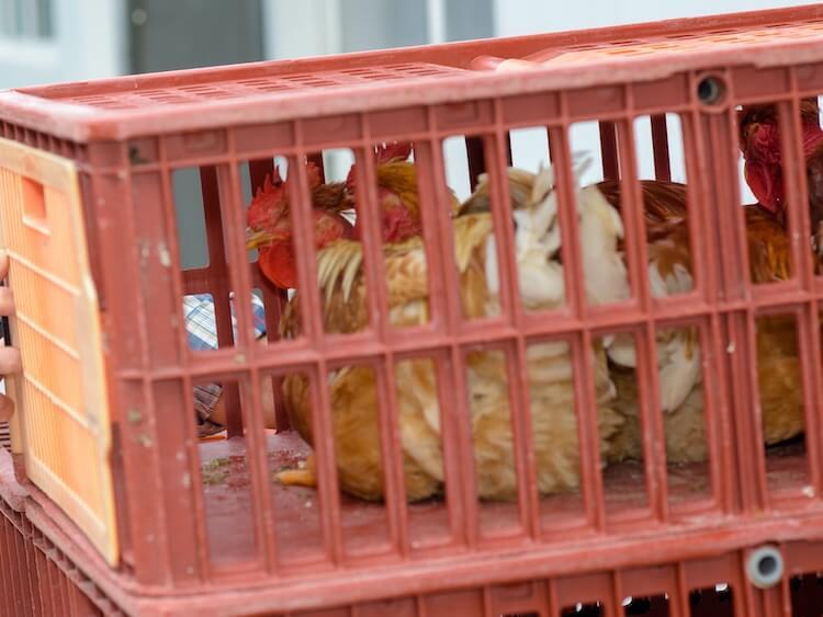 Transporting Chickens