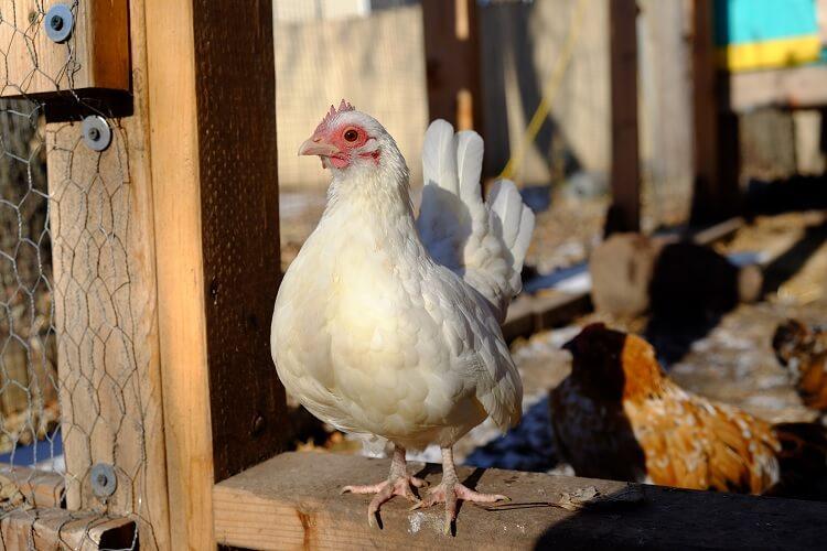 White Serama Chicken
