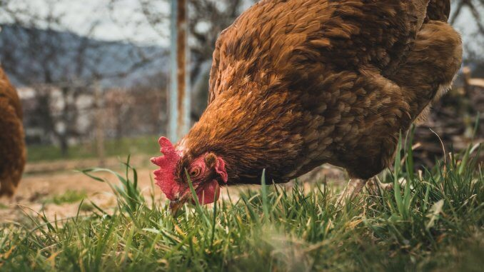 13 Ways To Stop Chickens From Eating Eggs Cover
