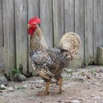 Cuckoo Marans Chicken