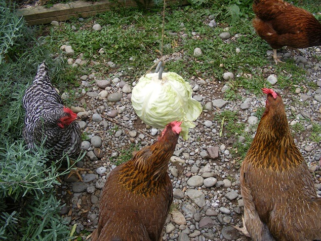 Feeding Cabbage To Chickens