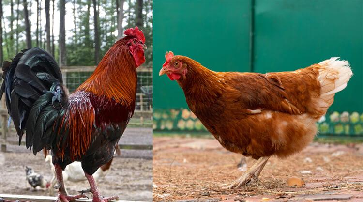 How Sex A Chicken