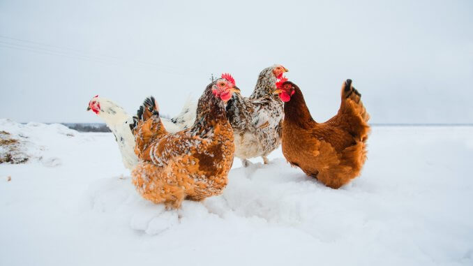 Keeping Chickens Laying During Winter The Beginner's Guide Cover