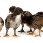 Marans Chicks