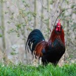 Marans Rooster