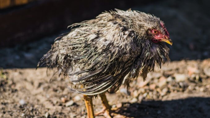 Can Chickens Swim? What To Know Before Letting Your Chickens Swim Cover