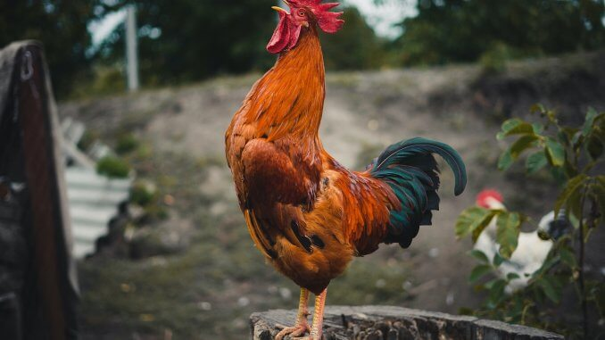 What Is Rooster Aggression And How To Stop It Cover