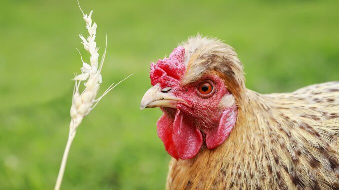 Which Chickens Are Laying Eggs? 3 Sure Ways To Tell Cover
