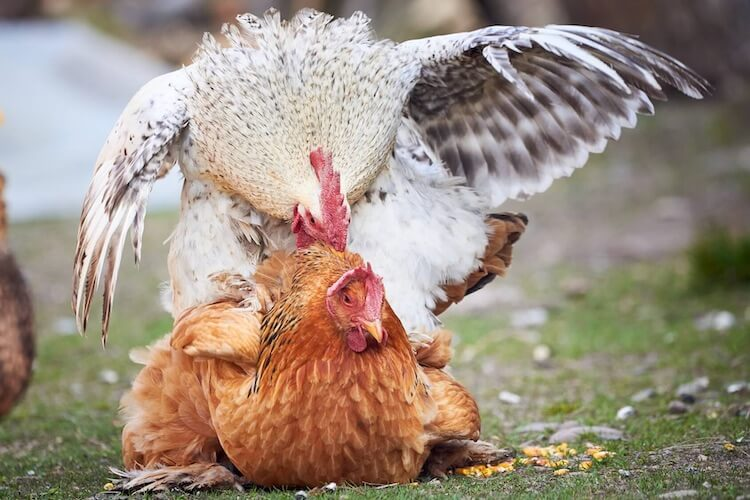 Rooster Mating With Hen
