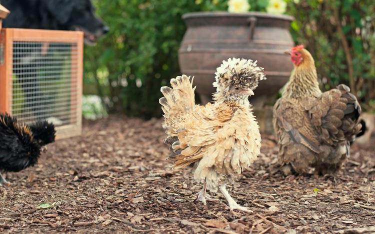 Silkie Frizzle Chicken