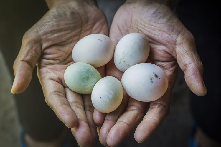 Holding Chicken And Duck Eggs
